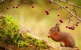 미리보기 배경 화면 다람쥐, 붉은 열매