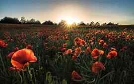 Aperçu fond d'écran Fleurs d'été, coquelicots rouges, soleil