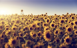 Preview wallpaper Summer, sunflowers, sunshine