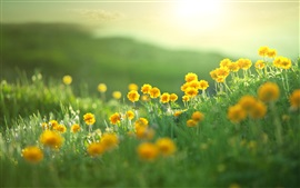 Summer, yellow flowers, green grass, bokeh