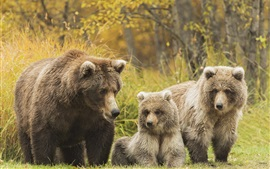 Preview wallpaper Three bears, grizzly family