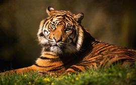 Tigre olha para você, grama, bokeh