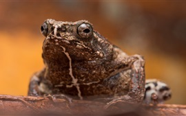 Preview wallpaper Toad, macro photography