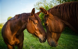 Preview wallpaper Two brown horses, friendship