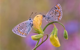 Preview wallpaper Two butterflies, yellow flower