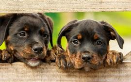 2匹の犬の顔、フェンス、フェンス