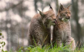 Two gray wild cats