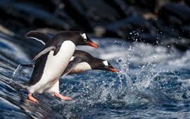 Два пингвина ходят к воде