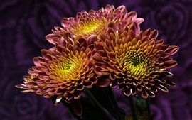 Two-tone petals chrysanthemum, yellow and purple