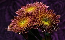 Crisantemo de dos tonos de pétalos, amarillo y morado
