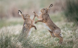 Preview wallpaper Two wild rabbits play games, grass