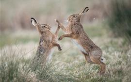 Dois coelhos selvagens jogar jogos, grama
