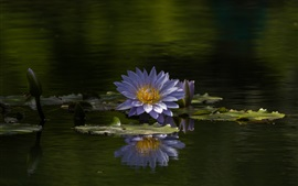 Preview wallpaper Water lily, blue flowers, summer