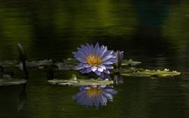 Lírio d'água, flores azuis, verão