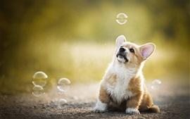 Preview wallpaper Welsh Corgi, dog play bubbles