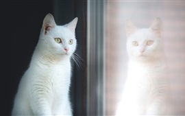 White cat look at window, reflection