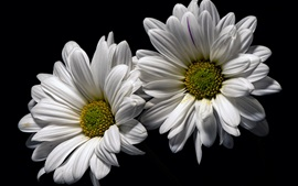 White chamomile flowers, black background