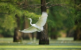 Preview wallpaper White heron flight, wings, trees