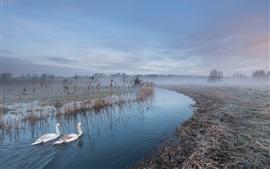 Cisnes brancos, rio, névoa, manhã