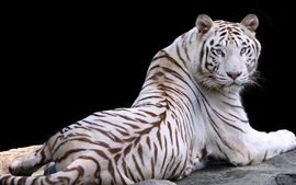 Preview wallpaper White tiger, look back, rest, blue eyes