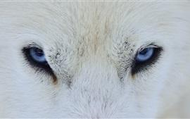 Lobo branco olhos azuis, vista frontal