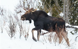 Winter animal, moose, snow