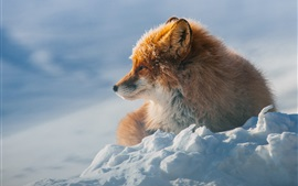 Preview wallpaper Winter, fox, snow