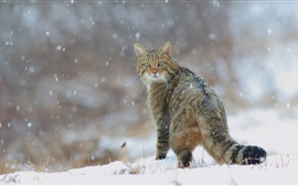 Winter, snow, wild cat look back