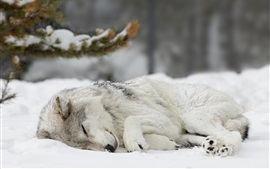 Wolf sleeping in the snow, winter