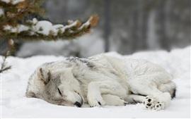 壁紙のプレビュー 雪の中で眠っている狼、冬