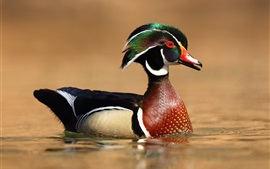Preview wallpaper Wood duck, water