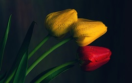 Yellow and red tulips, water drops, black background