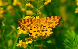 Yellow butterfly, summer