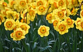 Preview wallpaper Yellow daffodils flowering, spring