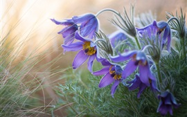 Anemone, sleep-grass, purple flowers