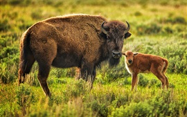 Животное, буйвол, мама и ребенок