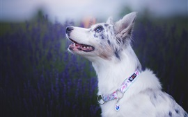Preview wallpaper Australian shepherd, lavender