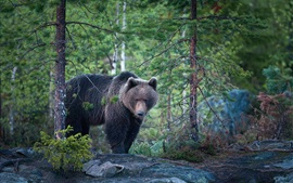 Preview wallpaper Bear, forest, after rain