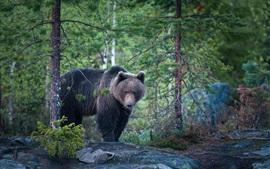 Vorschau des Hintergrundbilder Bär, Wald, nach Regen