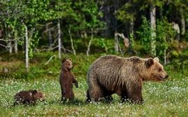 Медведи, семья, цветы