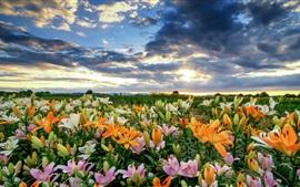 Lírios coloridos bonitos, nuvens, manhã
