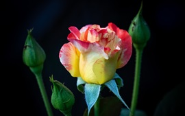 Preview wallpaper Beautiful rose, yellow pink petals, black background