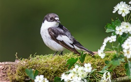 Pássaro, flores brancas