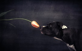 Preview wallpaper Black dog and orange tulip