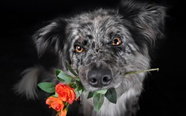 Preview wallpaper Black dog, roses