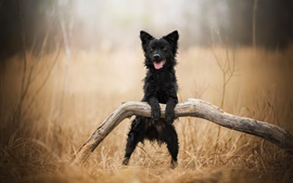 Preview wallpaper Black dog stand up, grass