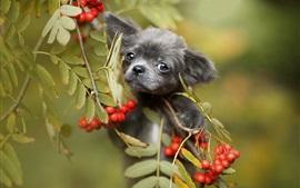 Cachorro negro, bayas rojas