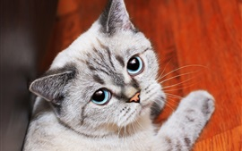 Preview wallpaper Blue eyes cat look at you, paw