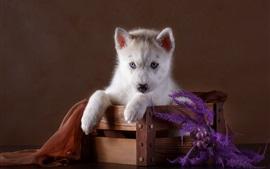 Yeux bleus husky chiot, boîte en bois