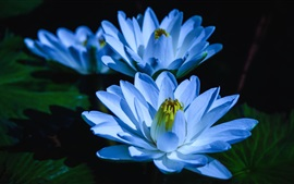 Preview wallpaper Blue water lily, three flowers